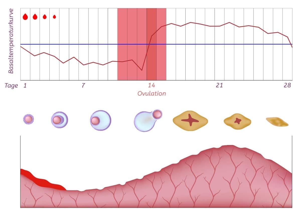 Basaltemperaturkurve im Verlauf des Zyklus